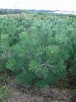 Сосна черная (Pinus nigra) 150 см.