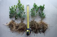 Самшит прикорененные черенки 10-15 см