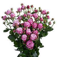 Кустовая роза Леди Бомбастик