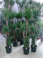 Пальма Юкка 2-х метровая