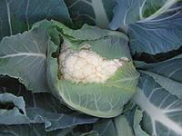 Семена цветной капусты Немо F1 1000 семян Clause Seeds