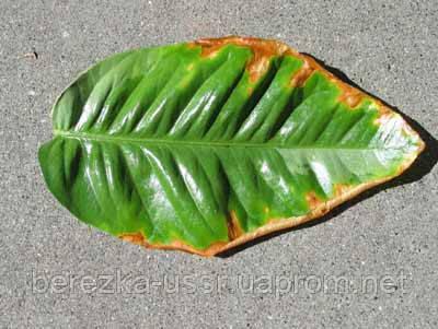Потеря листьев цитрусовыми