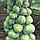 АБАКУС F1 - семена брюссельской капусты, 2 500 семян, Syngenta, фото 2