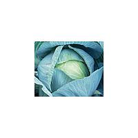 КИЛАТОН F1 - семена белокочанной капусты, 2 500 семян