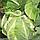 ЛЕКАНУ F1 - семена цветной капусты, 2 500 семян, Syngenta, фото 4