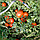 ПОЛБИГ F1 - семена томата детерминатного, 5 грамм, Bejo Zaden, фото 3