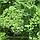 ПЕТРА - семена петрушки кучерявой, 50 грамм, Bejo Zaden, фото 2