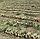 ДЕРБИ F1 - семена лука репчатого, 250 000 семян, Bejo Zaden, фото 2