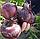 РЕД БАРОН - семена лука репчатого красного, 250 000 семян, Bejo Zaden, фото 3