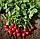 РУДОЛЬФ - семена редиса, 50 грамм, Bejo Zaden, фото 3