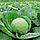 ЛЕМА F1 - семена капусты белокочанной калиброванные, 1 000 семян, Rijk Zwaan, фото 2