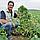 ВАГНЕР F1 - семена огурца партенокарпического, 1 000 семян, Rijk Zwaan, фото 2
