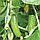 ГРАВИНА F1 - семена огурца партенокарпического, 1 000 семян, Rijk Zwaan, фото 3