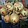 ЕКСІБІШН - насіння цибулі ріпчастої, 10 000 насінин, Bejo Zaden, фото 3