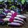 ЛОМА - семена свеклы столовой, 25 000 семян, Rijk Zwaan, фото 3