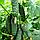 ЛЕНАРА F1 - семена огурца партенокарпического, 1 000 семян, Rijk Zwaan, фото 2