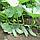 ПУЧИНИ F1 - семена огурца партенокарпического, 10 грамм, Rijk Zwaan, фото 2