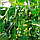 ЯНИ F1 - семена огурца партенокарпического, 1 000 семян, Rijk Zwaan, фото 5