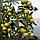 АФАМИЯ F1 - семена томата индетерминантного, 250 семян, Enza Zaden, фото 2