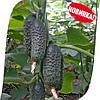 Семена огурца СВ 3506 ЦВ F1 (SV 3506 CV) 250 семян, Seminis (Голландия)