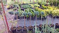 Можжевельник штамбовый чешуйчатый Блю Стар (juniperus squamata Blue Star)