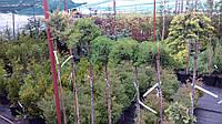 Можжевельник штамбовый лежачий Нана (Juniperus procumbens Nana)