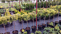 Можжевельник штамбовый средний Голд Стар (Juniperus pfitzeriana Goldstar)