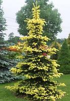 Ель колючая Майголд (Picea pungens Maigold)