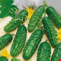Весовые семена Огурца  Эра, Этап