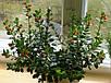 ГИПОЦИРТА - укорененный черенок 8-10 см, фото 4