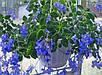 Стрептокарпелла голубая укорененный черенок, фото 2
