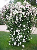 Саженцы плетистых белых роз