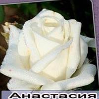 Саженцы роз Анастасия, фото 1