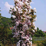 Сакура Amanogawa (Аманогава) від 1,5 м-1.8 відкрита коренева система., фото 2