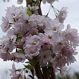 Сакура Amanogawa (Аманогава) від 1,5 м-1.8 відкрита коренева система., фото 3