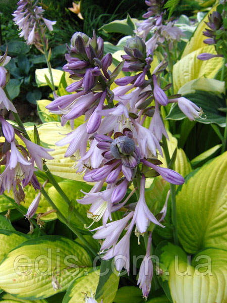 Фото: Цветок хосты Голд Стандарт