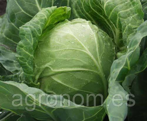 Семена капусты б/к Каунт F1 10000 семян Clause