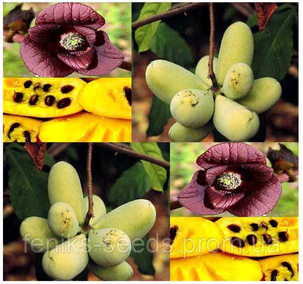 Азимина Трехлопастная семена