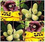 АЗИМИНА ТРЕХЛОПАСТНАЯ (Asimina triloba)