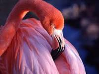 Фламинго розовый  - украшение вашего водоёма