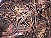 Красная Щетка (родиола четырехчленная), фото 2