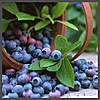 Ароматизатор TPA Blueberry (Extra)
