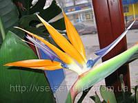 Стрелиция Райская Птица, 3шт., фото 1