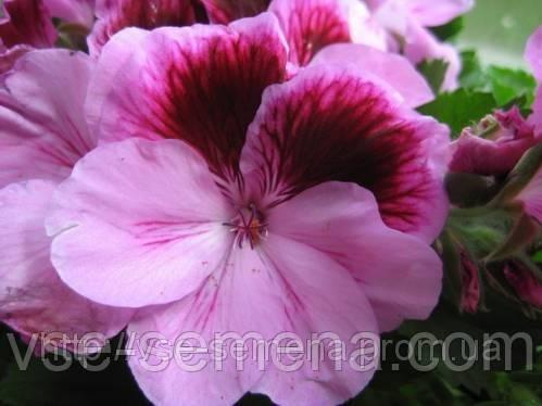 Пеларгония Мультиблум F1, семена.