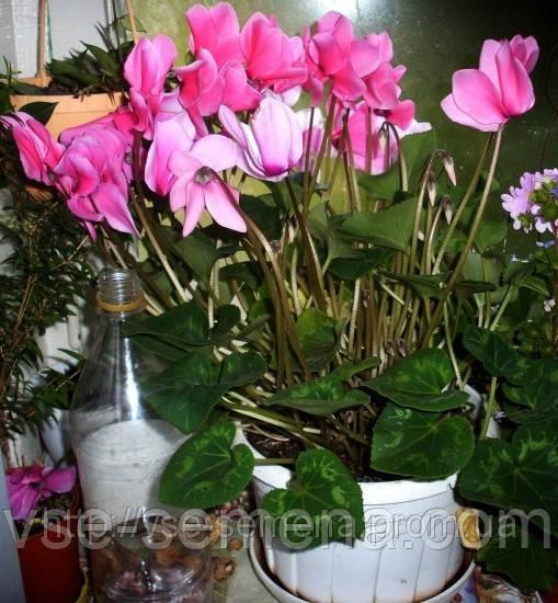 Цикламен Персидский Крупноцветковый, 5шт.семян