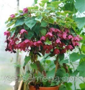 Родохитон Пурпурный Дождь