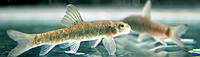 Рыбка-доктор Гарра Руфа (Garra Rufa). Fish-spa процедура пилинга.