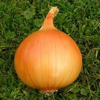 Тареско f1 / taresko f1 — лук репчатый, nickerson zwaan 250 000 калиброванных семян