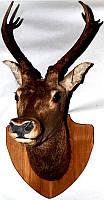 Чучело голови оленя