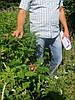 Шиповник для живой изгороди